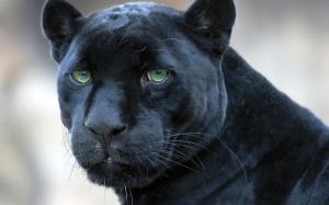 panther-05